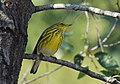 Cape May Warbler (37030336653).jpg
