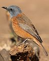 Cape Rock Thrush, Monticola rupestris, at Walter Sisulu National Botanical Garden, Gauteng, South Africa (29121886540).jpg