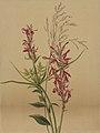 Cardinal Flower SAAM-1970.355.601 1.jpg