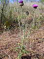 Carduus platypus subsp. granatensis Habitus 2010-5-31 MestanzaValledeAlcudia.jpg