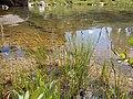 Carex aquatilis plant (09).jpg