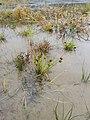 Carex bohemica sl33.jpg