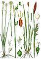 Carex spp Sturm43.jpg