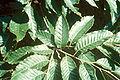 Castanea mollissima foliage.jpg