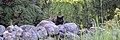 Cat (Felis catus) - Oslo, Norway 2020-09-02.jpg