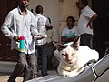 Cat Snoozes on Car Bonnet - Stone Town - Zanzibar - Tanzania (8868699701).jpg