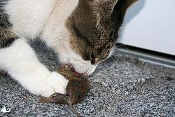 Un chat mangeant une souris