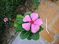 Catharanthus roseus (4).JPG