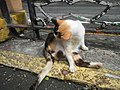 Cats in t1302Cats in the Philippines 14.jpg