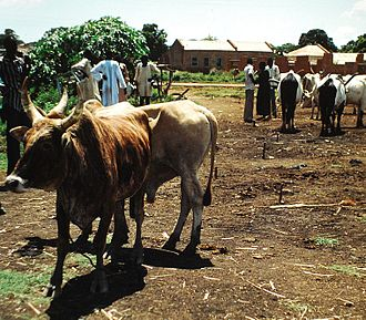 Wau, South Sudan - Wau cattle market, 2008