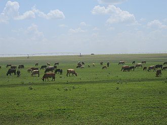 Springlake, Texas - Cattle herds on irrigated land north of Springlake