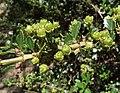 Ceanothus masonii 01.jpg