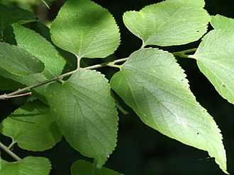 Asterocampa celtis - Leaves of a hackberry tree