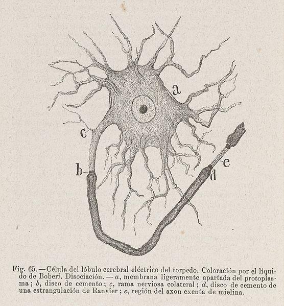 File:Celula del lobulo cerebral electrico del torpedo. Wellcome L0040800.jpg