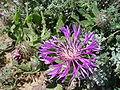 Centaurea sphaerocephalum.JPG