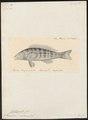 Centropristis radians - 1824-1839 - Print - Iconographia Zoologica - Special Collections University of Amsterdam - UBA01 IZ12900130.tif