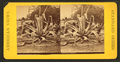 Century plant, from Robert N. Dennis collection of stereoscopic views 3.png