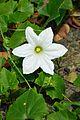 Cephalandra indica - Indian Botanic Garden - Howrah 2012-09-20 0167.JPG