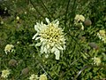 Cephalaria gigantea 2018-07-09 5021.jpg