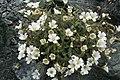 Cerastium latifolium, St Véran - img 19120.jpg