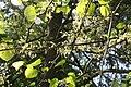 Cercis canadensis f. alba 2zz.jpg