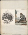 Cercopithecus diana - 1700-1880 - Print - Iconographia Zoologica - Special Collections University of Amsterdam - UBA01 IZ19900076.tif