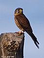 Cernicalo vulgar (falco tinnunculus canariensis)(♂) (4589249131).jpg