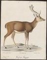 Cervus hippelaphus - 1818-1842 - Print - Iconographia Zoologica - Special Collections University of Amsterdam - UBA01 IZ21500128.tif