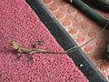 Chameleon - ഓന്ത്.JPG