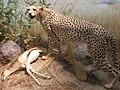 Cheetah CAS 1.JPG