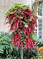 Chenille plant Acalypha hispida IMG 0168.jpg