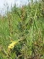 Chenopodium rubrum (s. str.) sl51.jpg