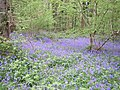 Chenson Woods Bluebells - geograph.org.uk - 1481879.jpg