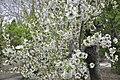 Cherry Blossom (4515167730).jpg