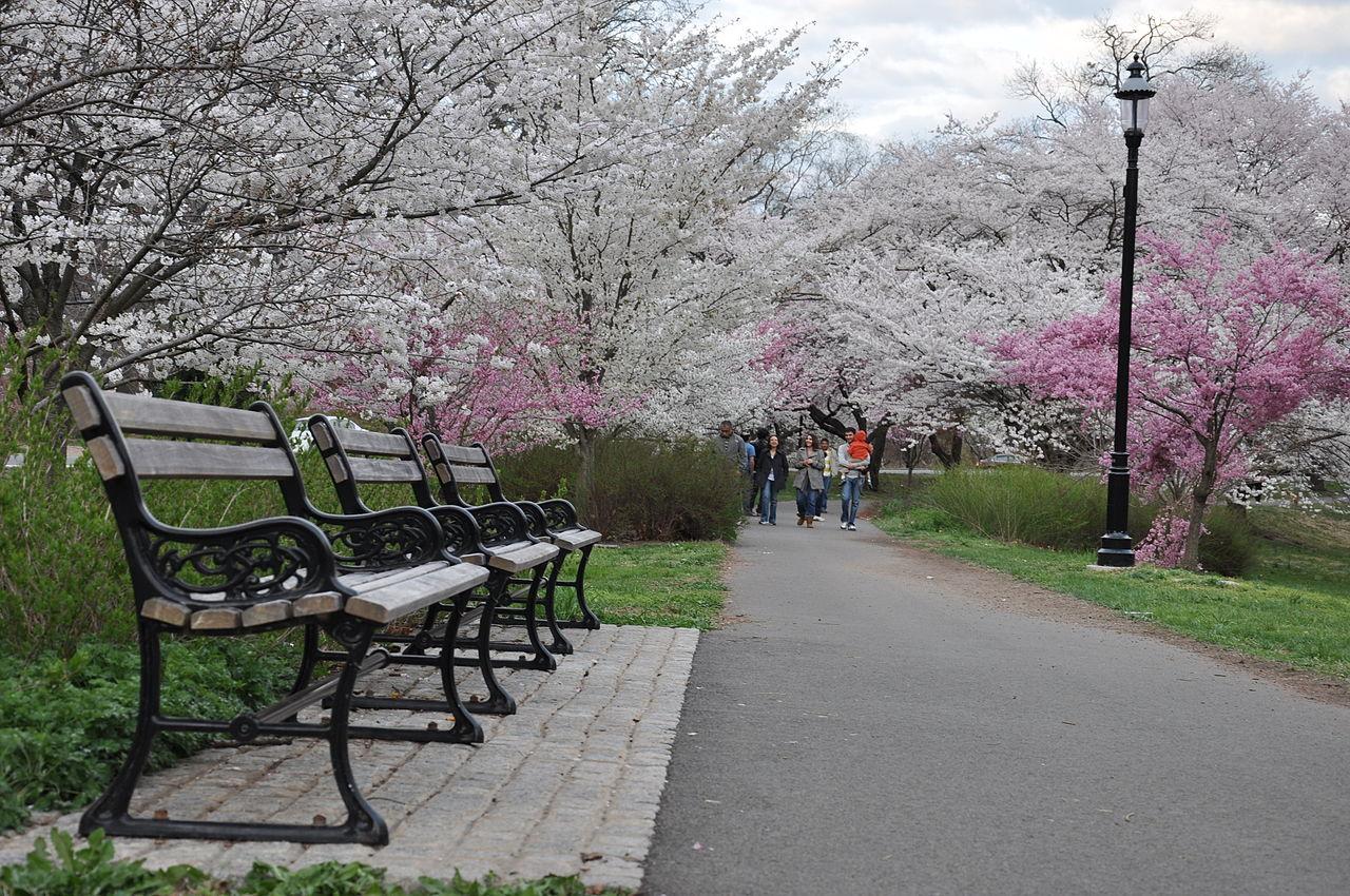 Cherry Blossom  In Jeju Island