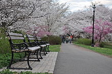 Cherry Blossom in Branch Brook Park, NJ - 2012.JPG