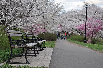 Cherry blossoms in Branch Brook Park Cherry Blossom in Branch Brook Park, NJ - 2012.JPG