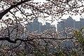 Cherry Blossom in Yeouido Park - panoramio (2).jpg