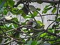 Chestnut-tailed starling 01.jpg