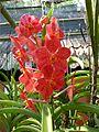 Chiang Mai Orchids P1110382.JPG