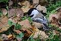 Chickadee (21600459104).jpg