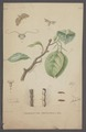 Chimabacche - Print - Iconographia Zoologica - Special Collections University of Amsterdam - UBAINV0274 058 11 0007.tif