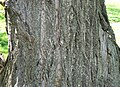 Chinese Chestnut (Castanea mollissima) bark detail.jpg