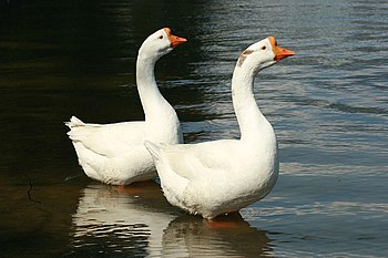 English: Two Chinese geese in Kyoto, Japan.