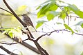 Chipping sparrow (26409431196).jpg