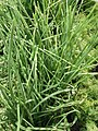 Chives for sale.jpg