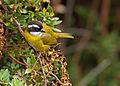 Chlorospingus pileatus -Parque Nacional Volcan Irazu, Costa Rica-8a.jpg