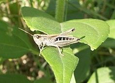 Chorthippus curtipennis Mâle.jpg