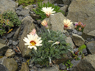 Rhodanthemum - R. catananche syn. Chrysanthemopsis catananche