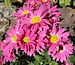 Chrysanthemum 'Rage Spray' in my Garden2.jpg